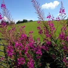 Rose Bay Willow Herb.
