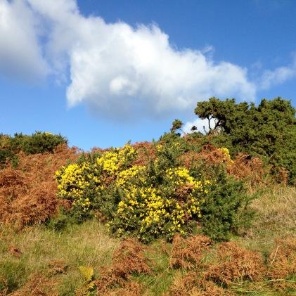 Gorse: late season flowering.