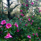Part of the National Camellia Collection at Mount Edgcumbe.