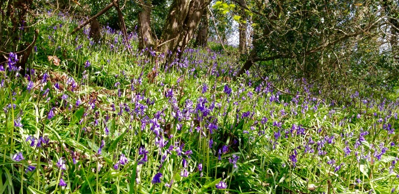 First bluebells of the year, Clovelly.