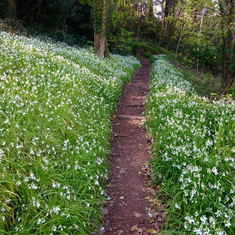 Woods full of wild garlic.