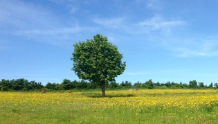 Buttercup meadow.