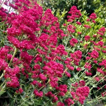 Red Valerian.