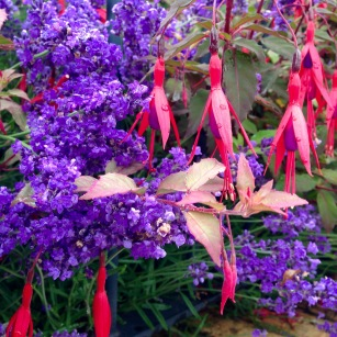 Lavender & Fuscia.