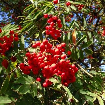 Autumn berries.