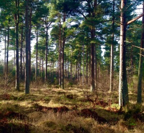 Tentsmuir Forest.