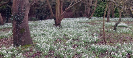 Woods full of snowdrops.