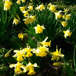 Early daffodils.