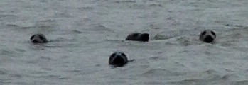 Seals in the River Ythan, near Newburgh.