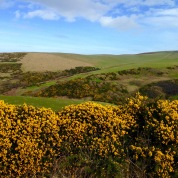 Gorse in bloom.