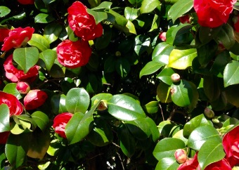 Camelias in bloom.