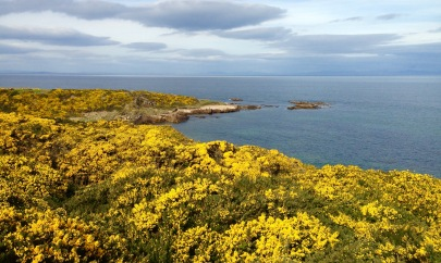 Nearing Hopeman; miles and miles of gorse.