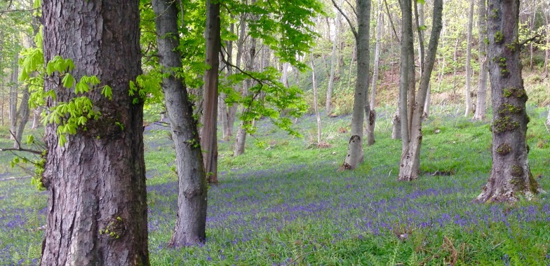 Bluebell woods near Golspie.
