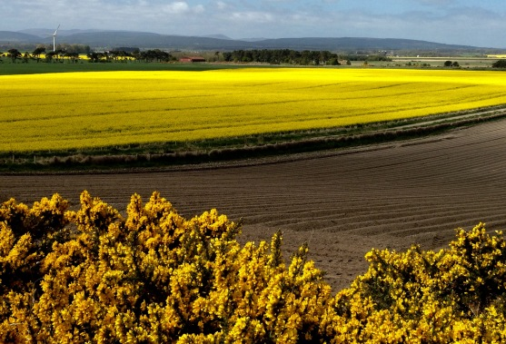 Typical scenery in Easter Ross: rape & gorse.