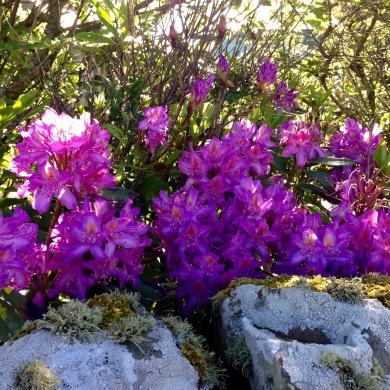 Rhodedendrons.