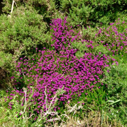 Heather and Gorse.
