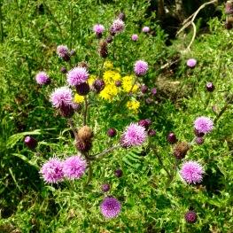 Thistles in flower.