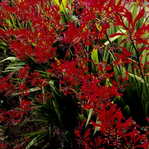 Iris (crocosmia): everywhere, these at Mellon Charles.