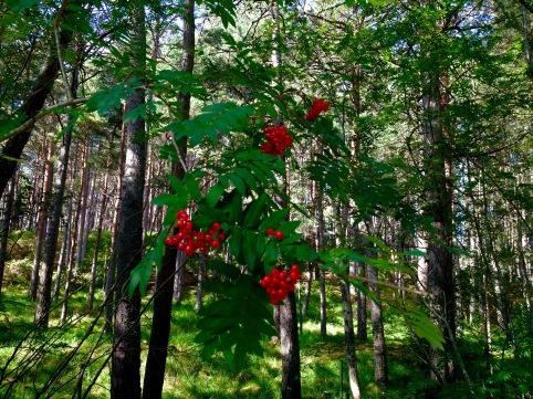 Pine forest, descending towards Dundonnell.