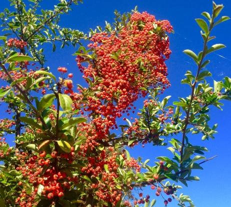 Autumn berries, everywhere.