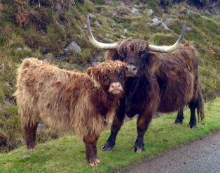 Highland Longhorn Cattle, near Applecross.