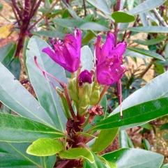 Rhodedendron in bud; in the woods near Stronchreggan.