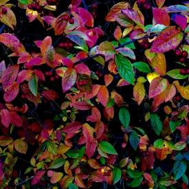 Last burst of autumn colour.