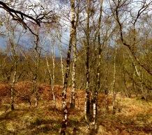 Bracken & Birch, typical scenery.