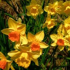 Daffodils at Carsaig.