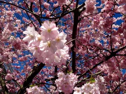 Cherry blossom at Bellanoch.