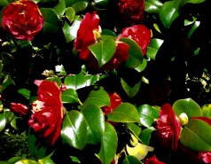 Camellias - everywhere.