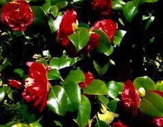 Camellias - everywhere.