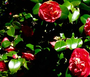 Camellias.