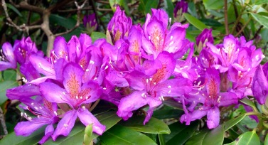 Rhododendrons in bloom.