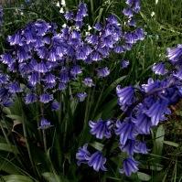 Bluebells, Argyll Forest.