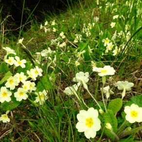 Primroses in the Argyll Forest.
